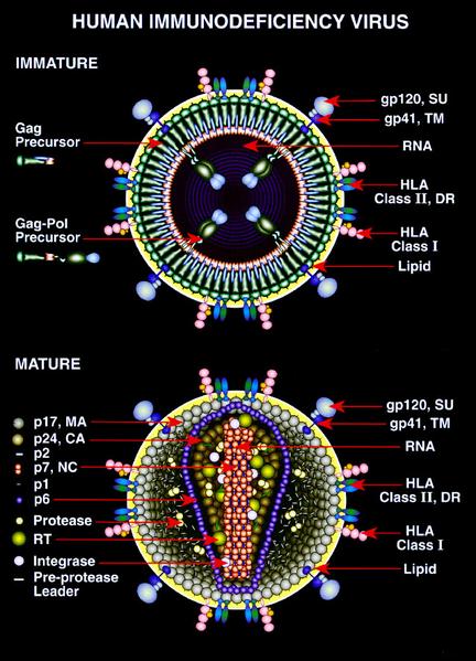 HIV_Mature_and_Immature